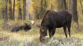 Big Shiras Moose Bull and Cow in Rut stock video