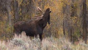 Big Shiras Moose Bull stock footage