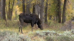 Big Shiras Moose Cow Grazing stock video