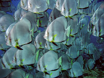 Big shoal of Batfish Royalty Free Stock Photos