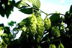 Big shots of the hop by summer Stock Photos