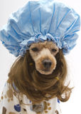 Big Shower Cap. A poodle in a bathrobe and a shower cap Royalty Free Stock Photography
