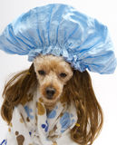 Big Shower Cap for A Little Brunette. A poodle in a brunette wig, blue shower cap and terry cloth bathrobe with paw prints Stock Image