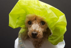 Big Shower Cap On A Little Dog Royalty Free Stock Image