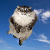 The big Siberian domestic cat flying. The big Siberian (neva masquerade) domestic cat with blue eyes flying intue sky Royalty Free Stock Images