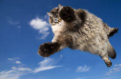 The big Siberian domestic cat flying. The big Siberian (neva masquerade) domestic cat with blue eyes flying in the sky Stock Photo