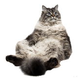 The big Siberian domestic cat Royalty Free Stock Photography
