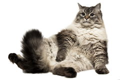The big Siberian domestic cat. The big Siberian (neva masquerade) domestic cat with blue eyes Stock Images