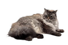 The big Siberian domestic cat. The big Siberian (neva masquerade) domestic cat with blue eyes Royalty Free Stock Images