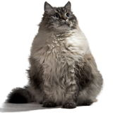 The big Siberian domestic cat Stock Photos