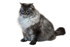 The big Siberian domestic cat. The big Siberian (neva masquerade) domestic cat with blue eyes Stock Photos