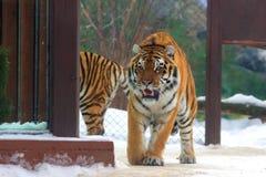Big siberian tiger Royalty Free Stock Images