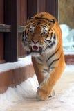 Big siberian tiger Stock Image