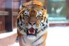 Big siberian tiger stock photos
