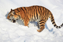 Big siberian tiger in search of its prey. Royalty Free Stock Image