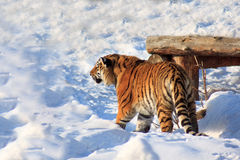 Big siberian tiger is waiting for its prey. Stock Images