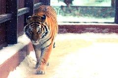 Big siberian tiger Stock Photo