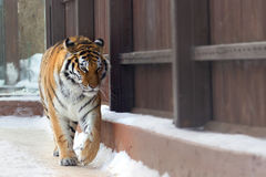 Big siberian tiger Royalty Free Stock Image