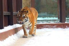 Big siberian tiger Stock Images