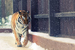 Big siberian tiger Royalty Free Stock Photo