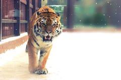Big siberian tiger Stock Photography