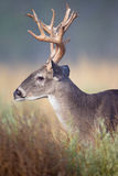 Big side portrait of whitetail buck Royalty Free Stock Image