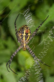 Big Signature Spider royalty free stock photography
