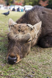 Big Sika Male deer cut antler sleep and lying in the park Royalty Free Stock Image
