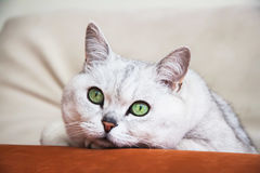 Big silver British cat with intelligent, beautiful green eyes resting on the couch and attentively looking at us. Portrait ponderer resting on the sofa of light stock photography