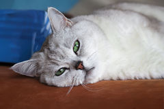 Big silver British cat with intelligent, beautiful pensive, dreamy green eyes resting on the couch and attentively. Looking at us. Concept pets, friendship and royalty free stock photos