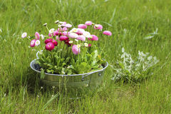 Big silver bucket full of daisy pink, red and white daisy flower. Summer garden decoration Stock Image