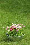 Big silver bucket full of daisy pink, red and white daisy flower. Summer garden decoration Royalty Free Stock Photo