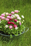 Big silver bucket full of daisy pink, red and white daisy flower. Summer garden decoration Royalty Free Stock Images