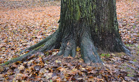 Big silver fir tree stock photo