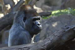 Big silverback Gorilla in park Stock Photos