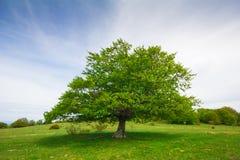 Big single beech tree Stock Photos