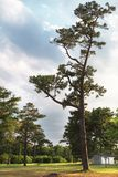 Big single pine tree. Park and blue sky. Sunny morning stock images