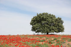 Big single tree. A big single tree on a field of poppies royalty free stock images