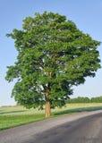 Big single tree Stock Photography