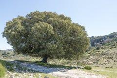 Big single tree in spain Royalty Free Stock Image