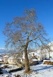 Big Single Tree in Winter Snow. Big single walnut tree in winter snow royalty free stock photos