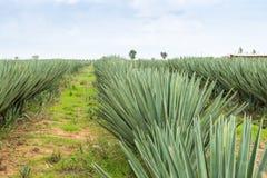 Big sisal plantation Stock Photo