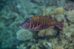 Big sky emperor fish. Lethrinus mahsena - sky emperor, mahsena imperor swimming in red sea Stock Photos