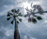 Big sky view with two palm trees. A big sky view with two palm trees royalty free stock photo
