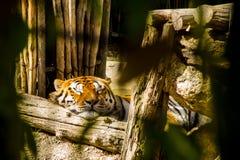A big sleeping tiger. A big tired tiger sleeping Stock Image