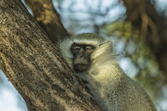 Big sleepy vervet monkey in a tree Royalty Free Stock Photo