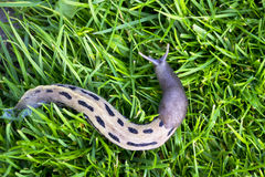 Big slug on the green grass Royalty Free Stock Images