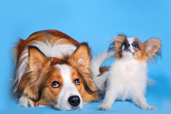 Big and small. Border collie and pappilion puppy stock photo
