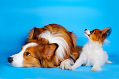 Big and small. Border collie and pappilion puppy stock photography