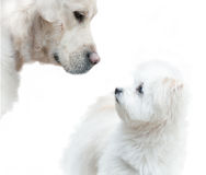Big and small. Concept: big golden retriever and maltese dog communicating stock photography